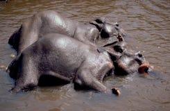 Sri Lanka: Indier Elefants som tar ett bad i floden på Pinawel royaltyfria foton