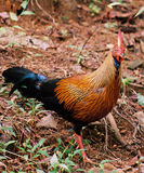 Sri Lanka Junglefowl Royalty Free Stock Images