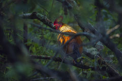 Sri Lanka junglefowl in Ella, Sri Lanka Stock Photo