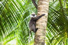 Sri Lanka - Kalutara. Monkey in Kalutara (Sri Lanka Stock Photo