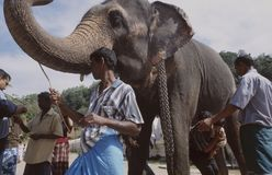 Sri Lanka: King elephant in front of Daliga Waliga buddhist temp stock photos