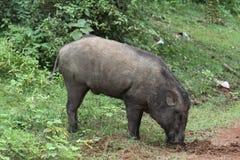 Sri Lanka löst svin arkivfoto