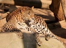 Sri Lanka lampart, Panthera pardus kotiya, Obrazy Stock