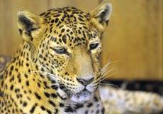 Sri Lanka Leopard Royalty Free Stock Image