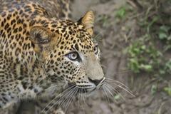Sri Lanka Leopard. Young Sri Lanka Leopard looks up stock photos
