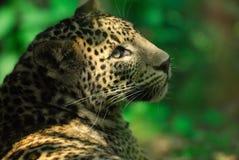 Sri Lanka Leopard. (Panthera pardus kotiya Royalty Free Stock Image