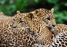 Sri Lanka Leopard. (Panthera pardus kotiya Royalty Free Stock Images