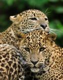 Sri Lanka Leopard. (Panthera pardus kotiya Royalty Free Stock Photography