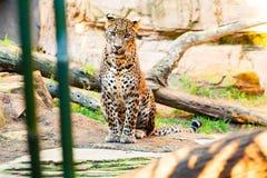 Sri Lanka Leopard Stock Image