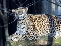 Sri Lanka Leopard, Panthera pardus kotiya, looks around. One Sri Lanka Leopard, Panthera pardus kotiya, looks around Stock Image