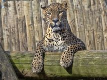 Sri Lanka Leopard, Panthera pardus kotiya, lying high on branch royalty free stock image