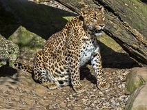 Sri Lanka Leopard, Panthera pardus kotiya, is threatened with extinction. The Sri Lanka Leopard, Panthera pardus kotiya, is threatened with extinction Stock Photo