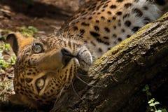 Sri Lanka Leopard Royalty Free Stock Photos