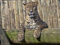Sri Lanka-Luipaard, Panthera-parduskotiya, die hoog op tak liggen royalty-vrije stock afbeelding