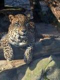Sri Lanka-Luipaard, Panthera-parduskotiya, die op boomboomstam rusten royalty-vrije stock fotografie