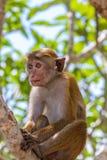 Sri Lanka małpa fotografia royalty free