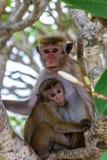 Sri Lanka małpa zdjęcia royalty free