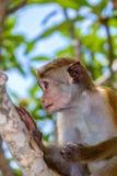 Sri Lanka małpa zdjęcie royalty free