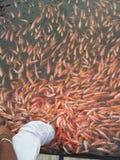 Fish massage. Royalty Free Stock Image
