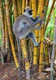 Monkey climbs a tree. Sri Lanka. Sri Lanka - Monkey on bamboo. Monkey climbs a tree Stock Photos