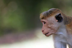 Sri Lanka Monkey Royalty Free Stock Photos