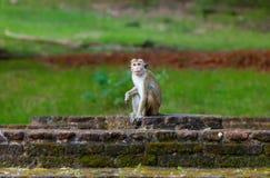 Sri Lanka monkey sitting on ruins. Royalty Free Stock Photography
