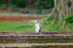 Sri Lanka monkey sitting on ruins. Royalty Free Stock Photos