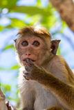 Sri Lanka Monkey royalty free stock photos