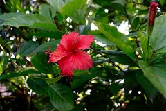Sri Lanka national flowers - the red Shoe Flower or Hibiscus rosa-sinensis Chinese and Hawaiian hibiscus, China rose. It is a po. Pular plant from the family stock image