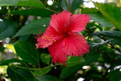 Sri Lanka national flowers - the red Shoe Flower or Hibiscus rosa-sinensis Chinese and Hawaiian hibiscus, China rose. It is a po. Pular plant from the family royalty free stock photography