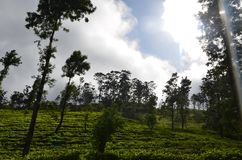 Nature and mountain Tea State in Srilanka royalty free stock photo