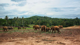 Sri Lanka, novembre 2011. Éléphant Orphanag de Pinnawala. Image stock