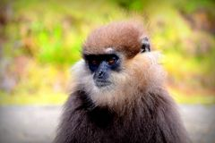 Sri Lanka Púrpura-hizo frente al mono de la hoja una especie rara de madera, fotografía de archivo libre de regalías