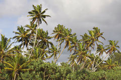 Sri Lanka: Palm trees on a beach Royalty Free Stock Images