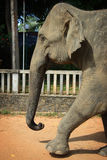 Sri Lanka: Pinnawela Elephant Stock Image