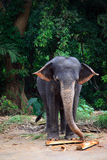 Sri Lanka: Pinnawela Elephants Royalty Free Stock Photography