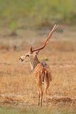 Sri Lanka przyroda Lankijczyk osi osi jeleni ceylonensis lub Ceylon, dostrzegaliśmy rogacza, natury siedlisko Bellow majestatyczn zdjęcia stock