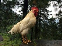 Sri Lanka rooster Royalty Free Stock Image