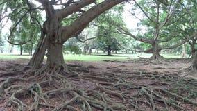 Sri Lanka rotar det stora trädet arkivfilmer