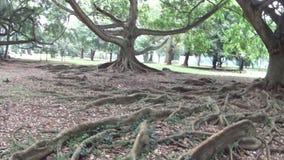 Sri Lanka rotar det stora trädet stock video