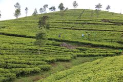 Sri Lanka ` s herbaty nieruchomo?ci Drzewo, li?? obrazy royalty free