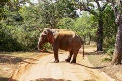 The elephant crosses the road. Sri Lanka. Safari in the national park of Yala. The elephant crosses the road royalty free stock photo