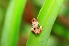 Sri Lanka Shrub frog sp Royalty Free Stock Photo