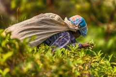 Sri Lanka: tea collector with a bag in plantation stock image