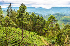 Sri Lanka: tea fields Stock Photo