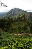 Sri Lanka tea fields Royalty Free Stock Image