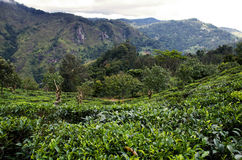 Sri Lanka tea fields 2 Royalty Free Stock Photo