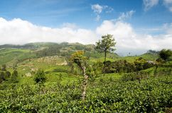 Sri Lanka tea fields 3 Royalty Free Stock Photography