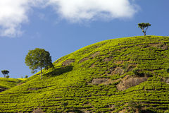 Sri Lanka tea garden mountains Stock Images