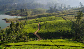 Sri Lanka, Tea plantation. Tea estate in the hill sides of Sri Lanka. Tea is one of the main industries which bring revenue to the countries economy royalty free stock image